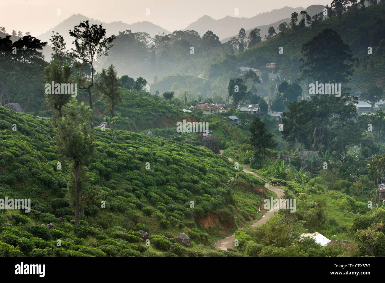 village of Namunukalu surrounded by a tea plantation, nr Ella, Southern Highlands, Sri Lanka - Stock Image