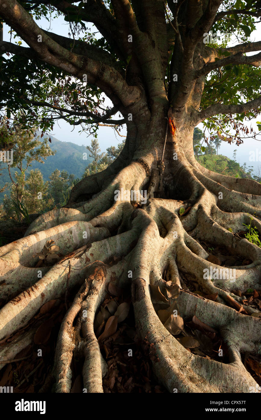 a tree with roots in the hills above Ella, Southern Highlands, Sri Lanka - Stock Image