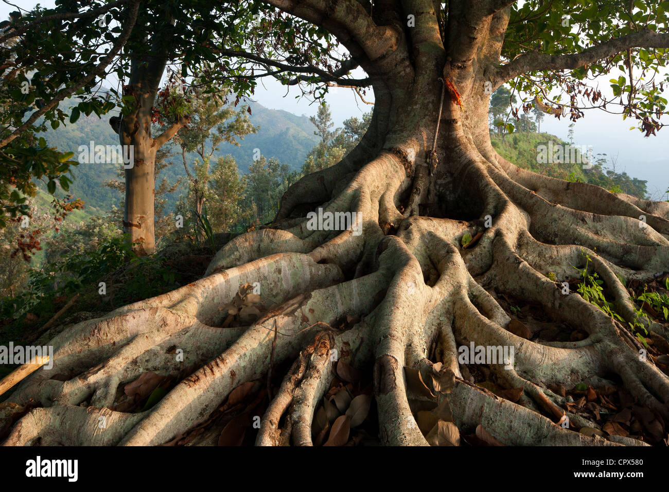 a tree with roots in the hills above Ella, Southern Highlands, Sri Lanka Stock Photo