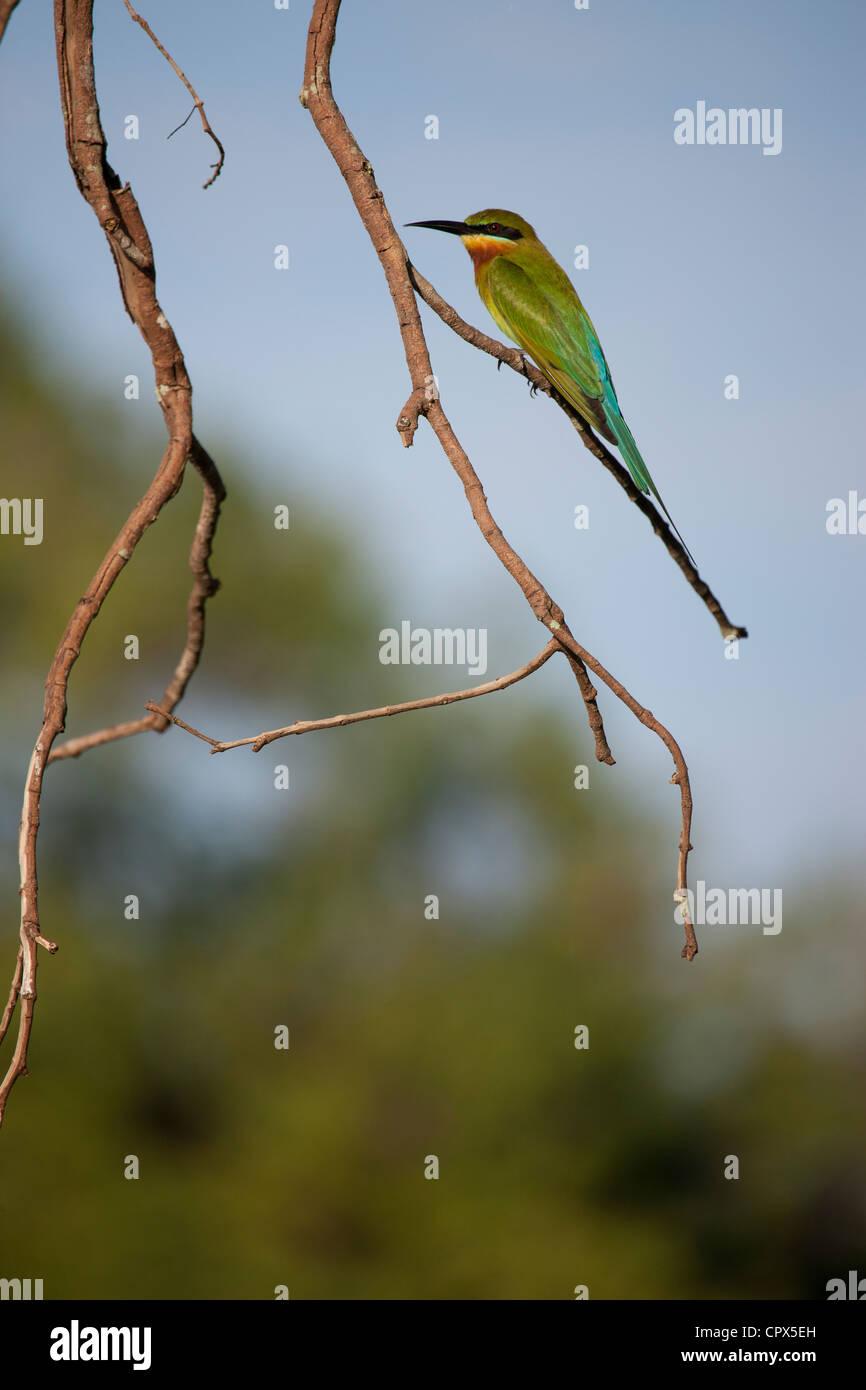 Bee-eater bird, Wilpattu National Park, Sri lanka - Stock Image
