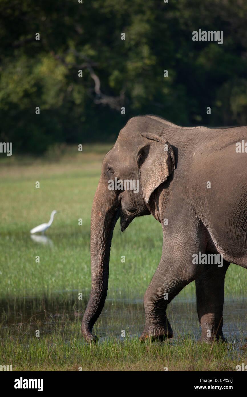 Large White Egret and elephant in Wilpattu National Park, Sri Lanka - Stock Image