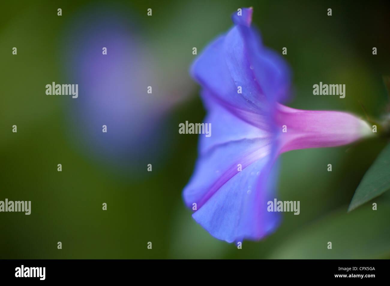 morning glory, Sri Lanka - Stock Image