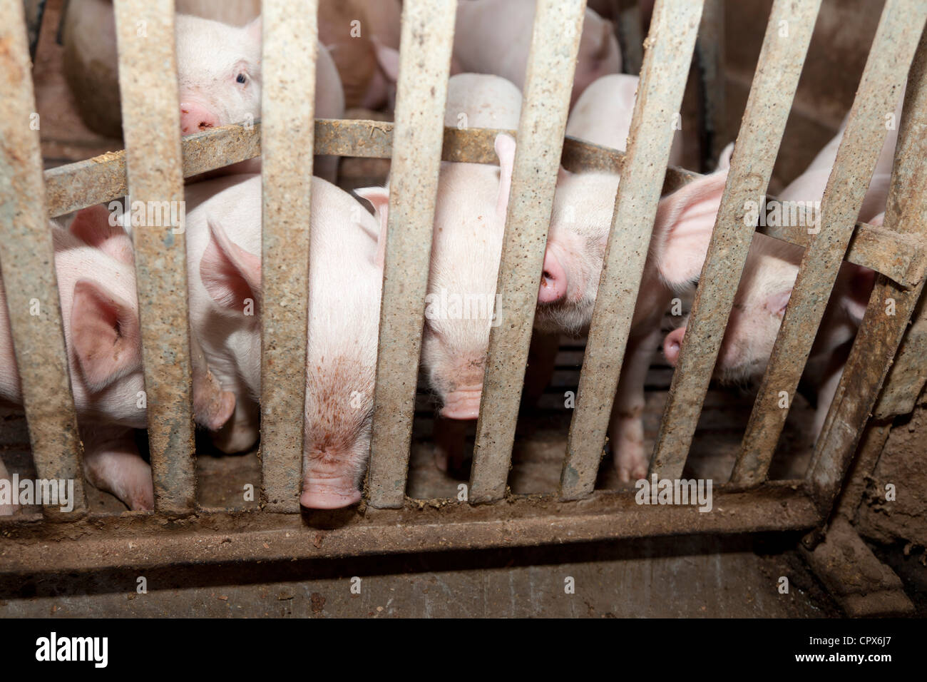 Group of piglets standing in a cage - Stock Image