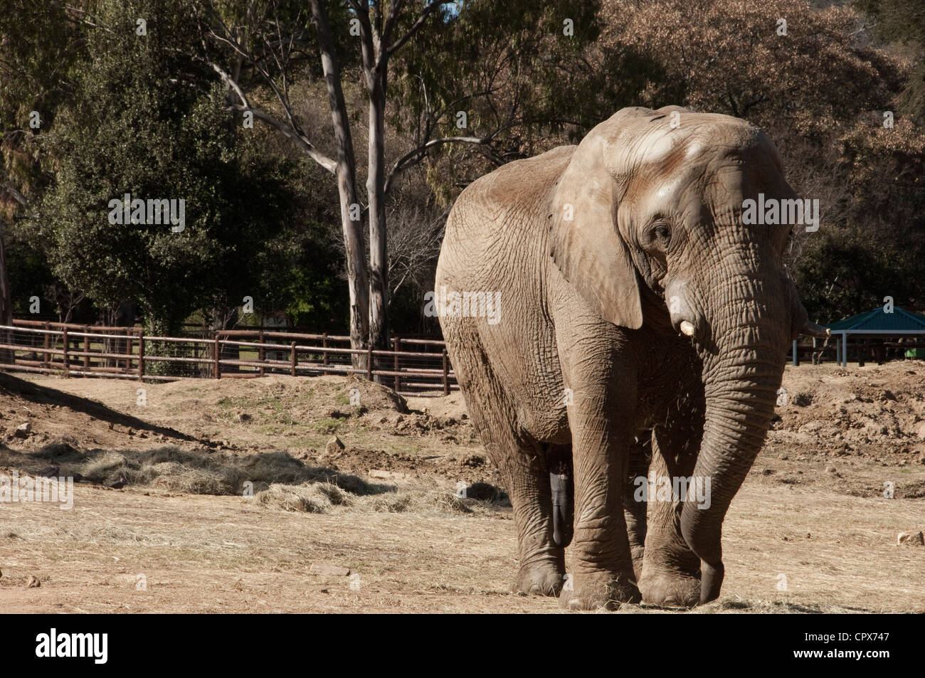 Landscape shot of an elephant walking - Stock Image