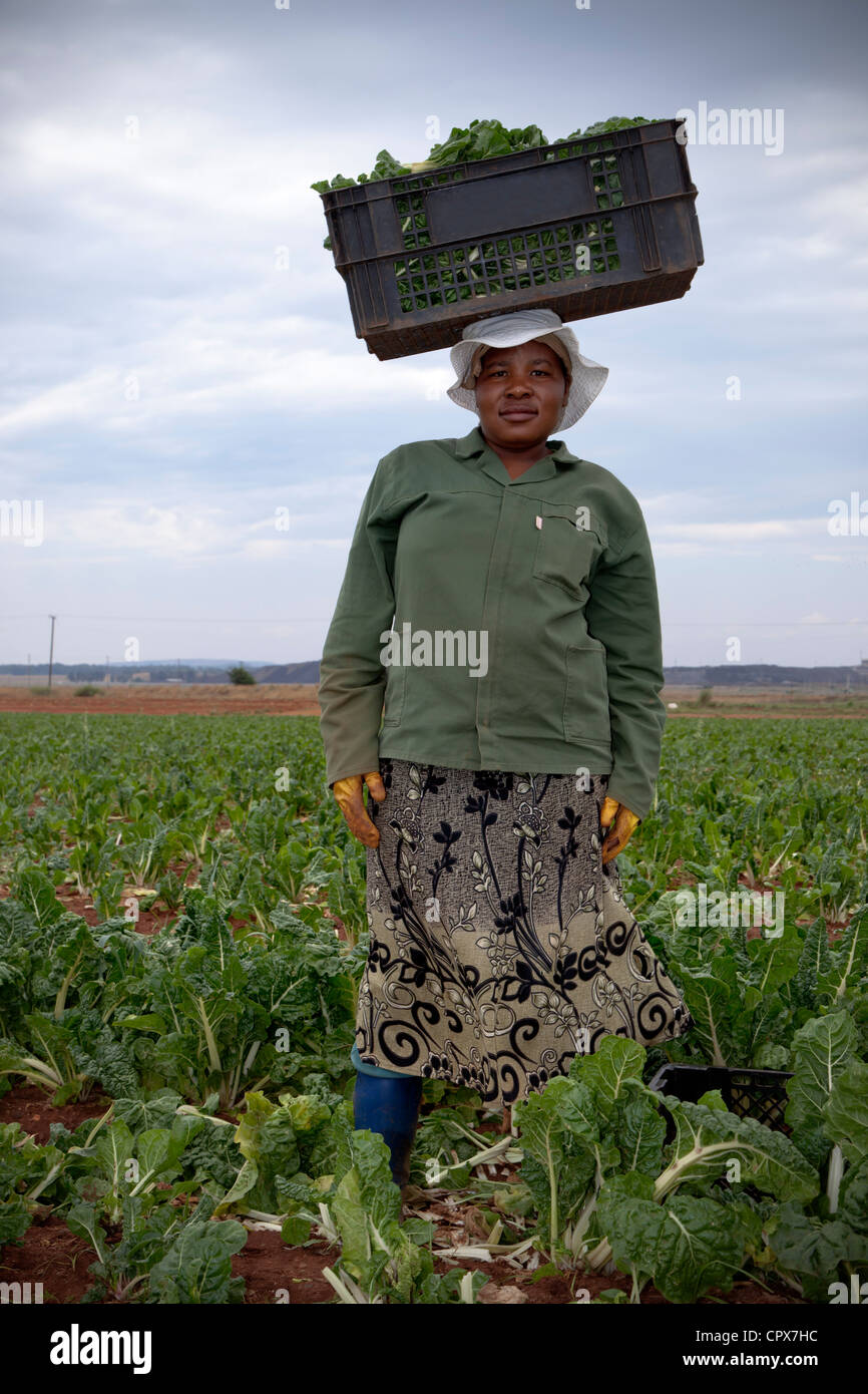 Farmworker poses in a vegetable field with crate on her head - Stock Image