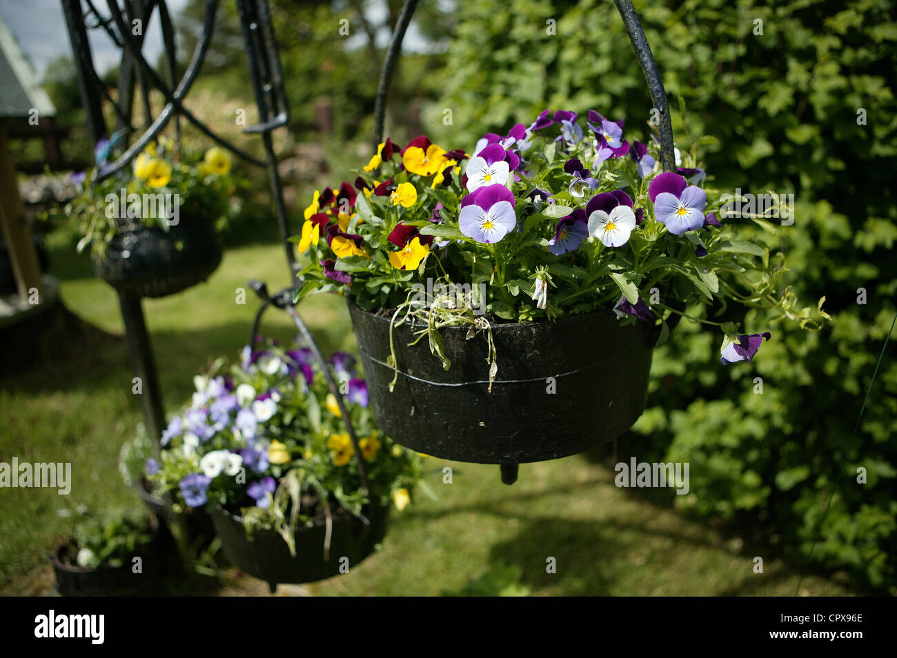 Pansies in a hanging cast iron pot  in a garden setting. Yellow, White,Purple. THree hanging pots Stock Photo