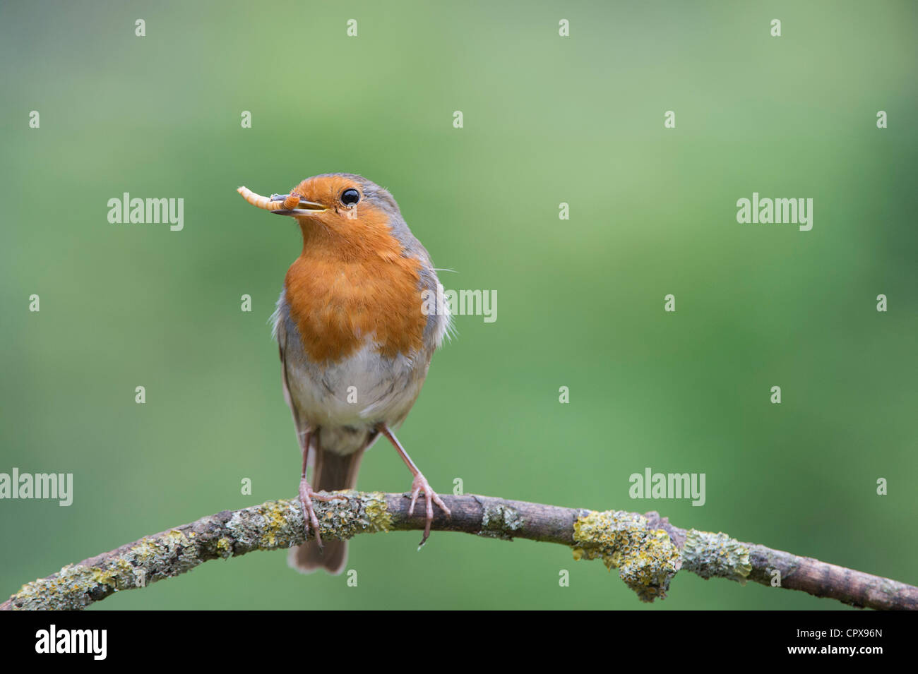 Robin perched on a branch with a mealworm in its beak - Stock Image