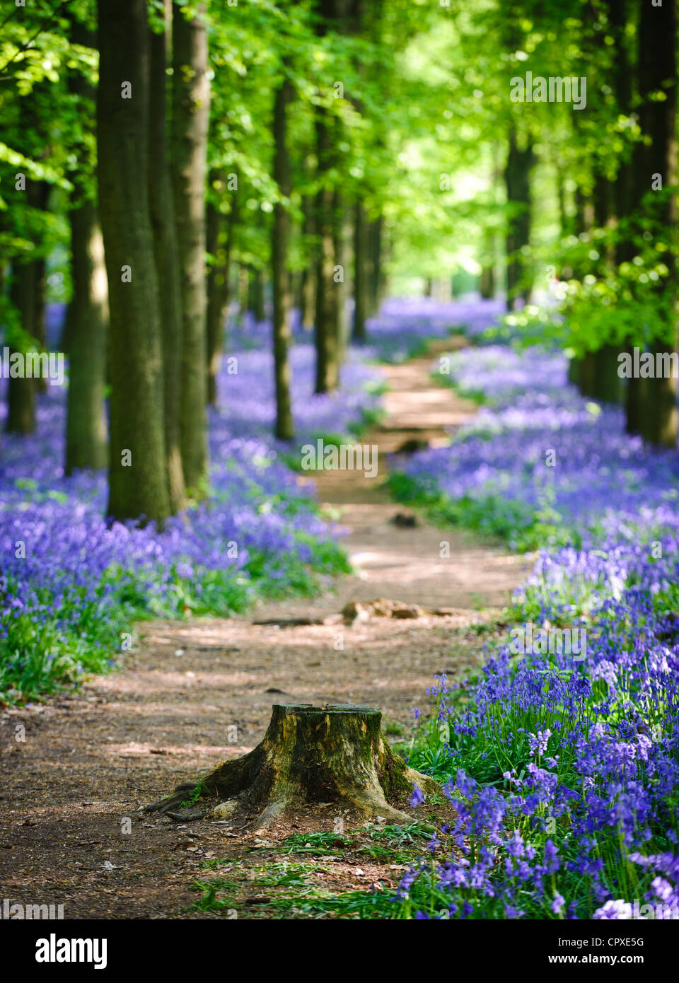 Bluebells in full bloom covering the floor in a carpet of blue in a beautiful beach tree woodland in Hertfordshire, - Stock Image