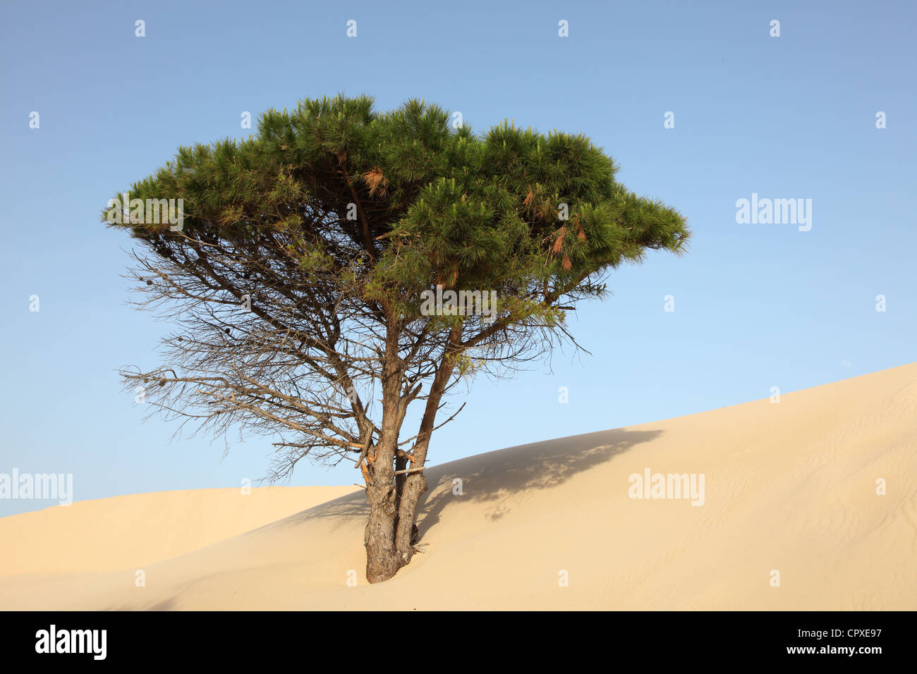 Pine Tree at a sand dune in Punta Paloma, Andalusia Spain - Stock Image
