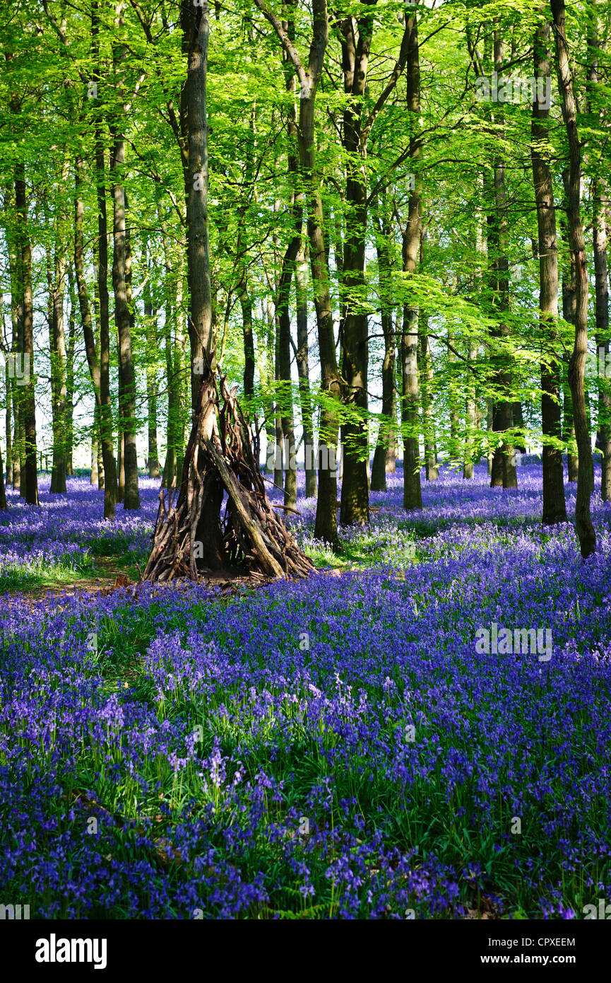 Bluebells in full bloom covering the floor in a carpet of blue in a beautiful beach tree woodland in Hertfordshire, Stock Photo