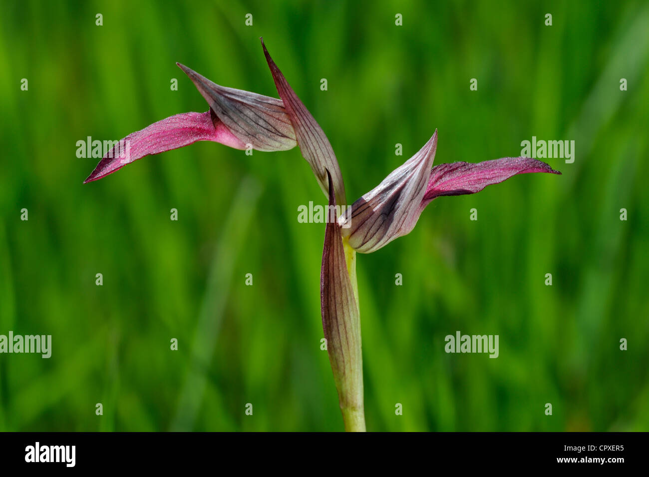 Close-up of Tongue orchid / Tongue Serapias (Serapias lingua) in flower - Stock Image