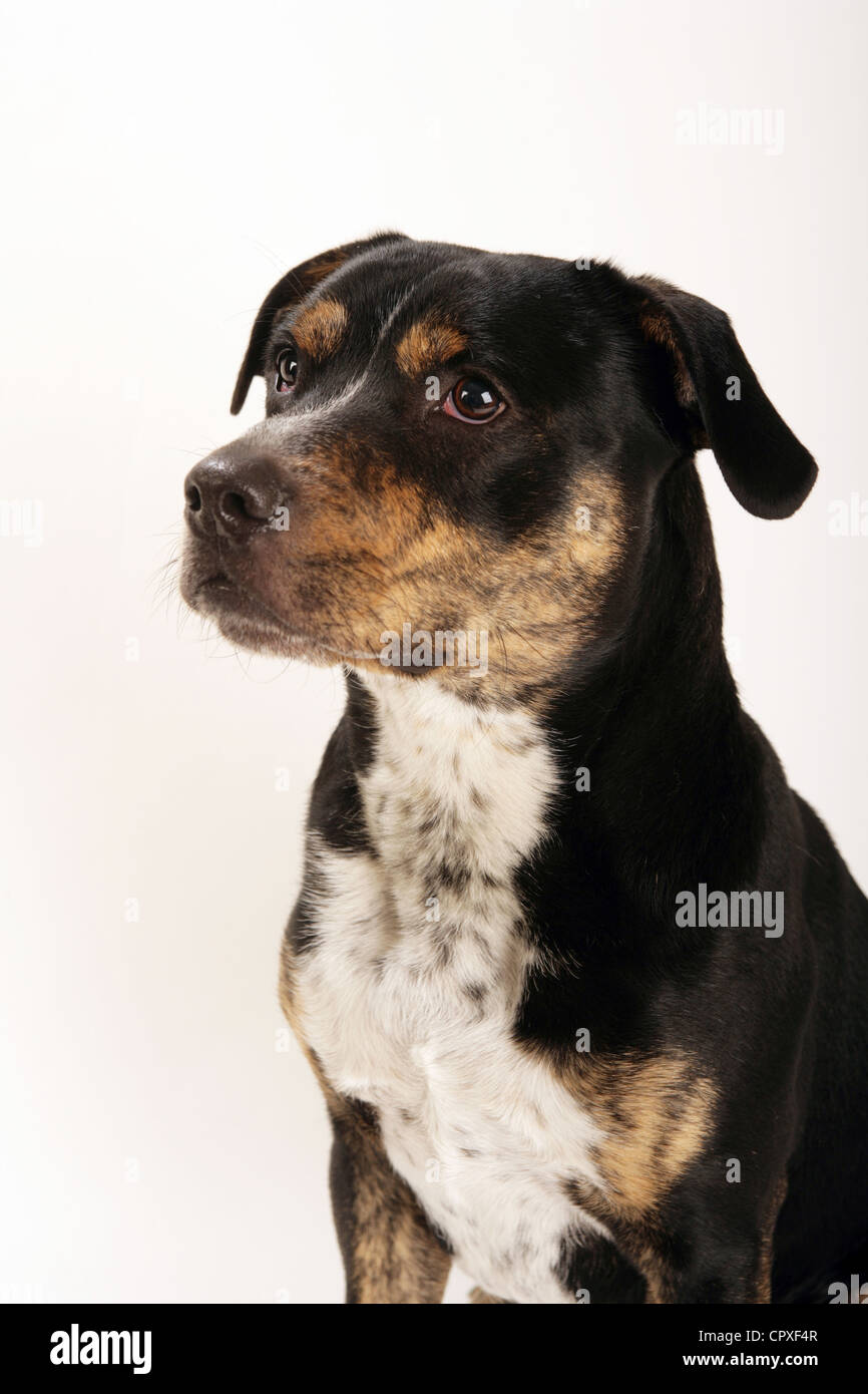 Portrait of a Staffordshire Bull Terrier Dog in a studio. - Stock Image