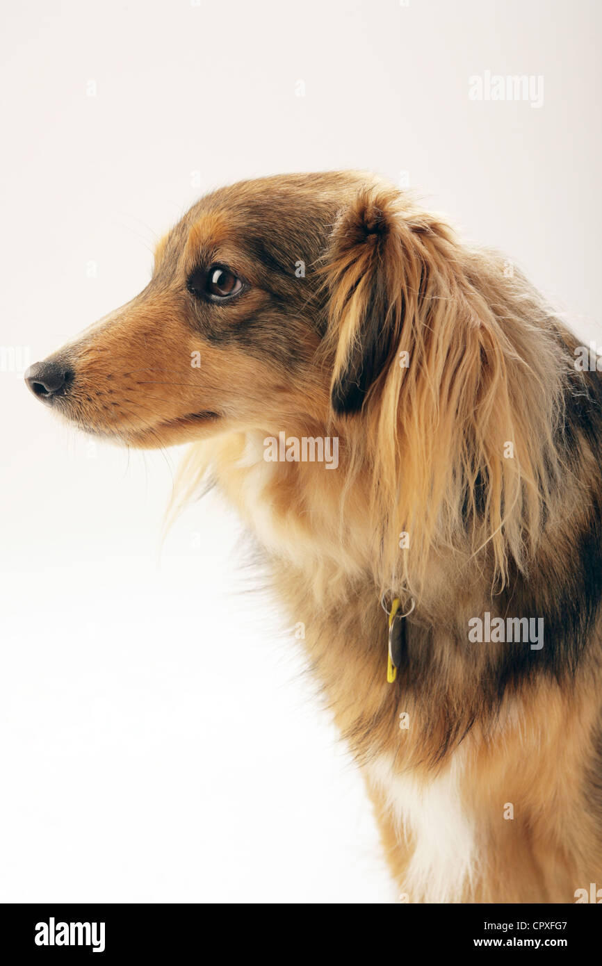 Portrait of a medium sized brown dog in a studio Stock Photo