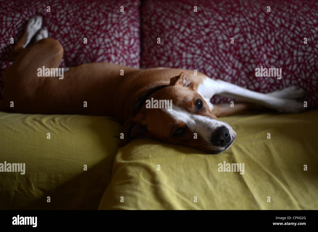 Dog laying on sofa in comical posture - Stock Image