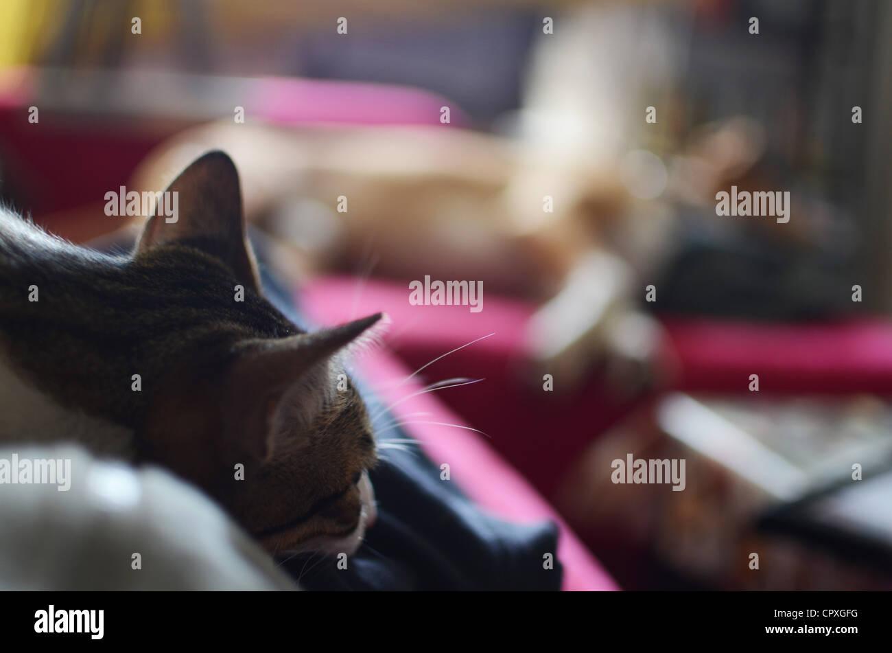 Cat and sleeping dog on sofa - Stock Image