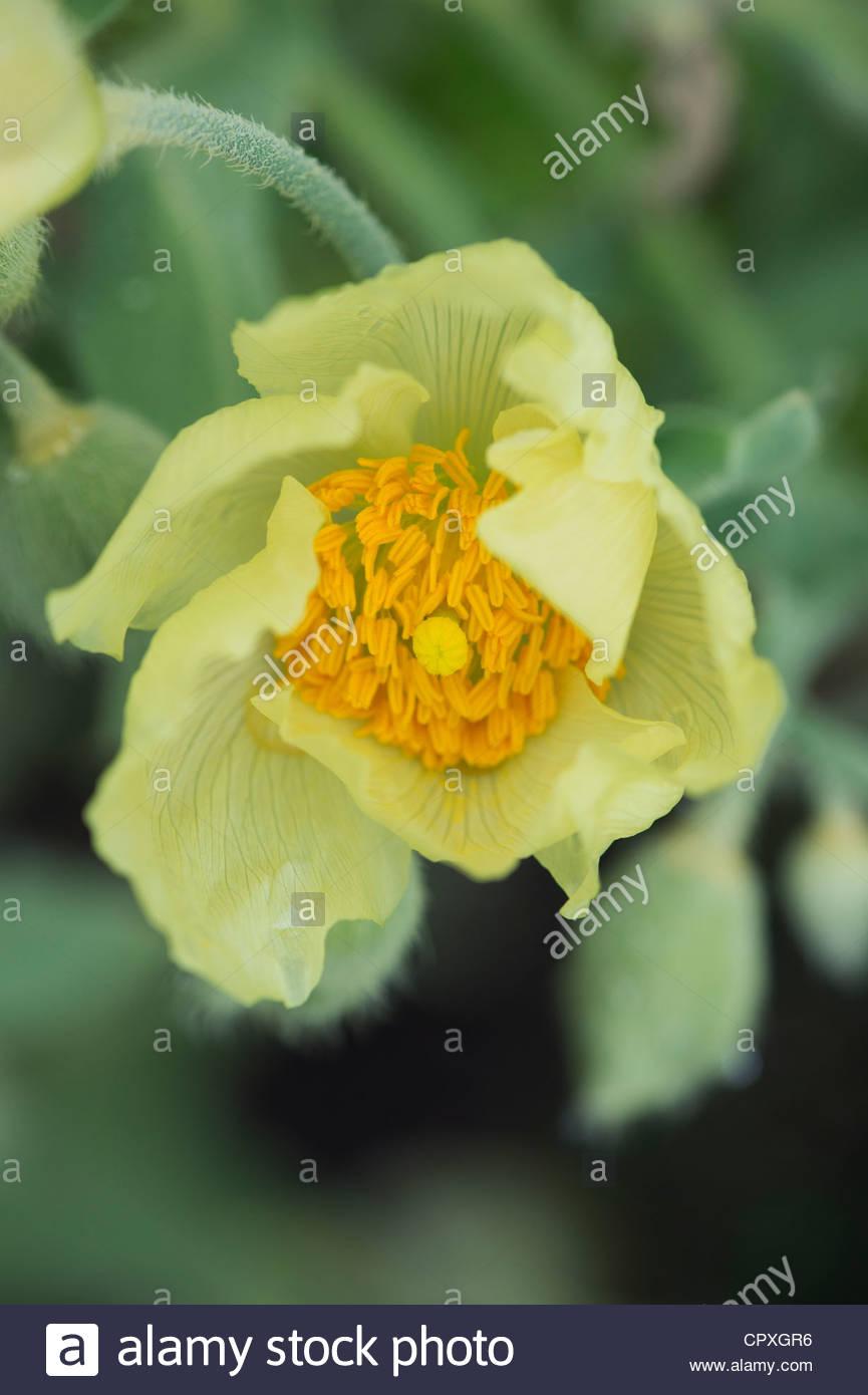 Meconopsis napaulensis yellow poppy nepal poppy himalayan poppy yellow poppy nepal poppy himalayan poppy mightylinksfo