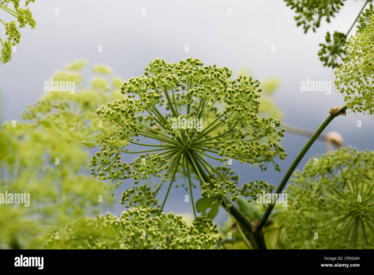 Angelica sylvestris against a stormy sky. - Stock Image