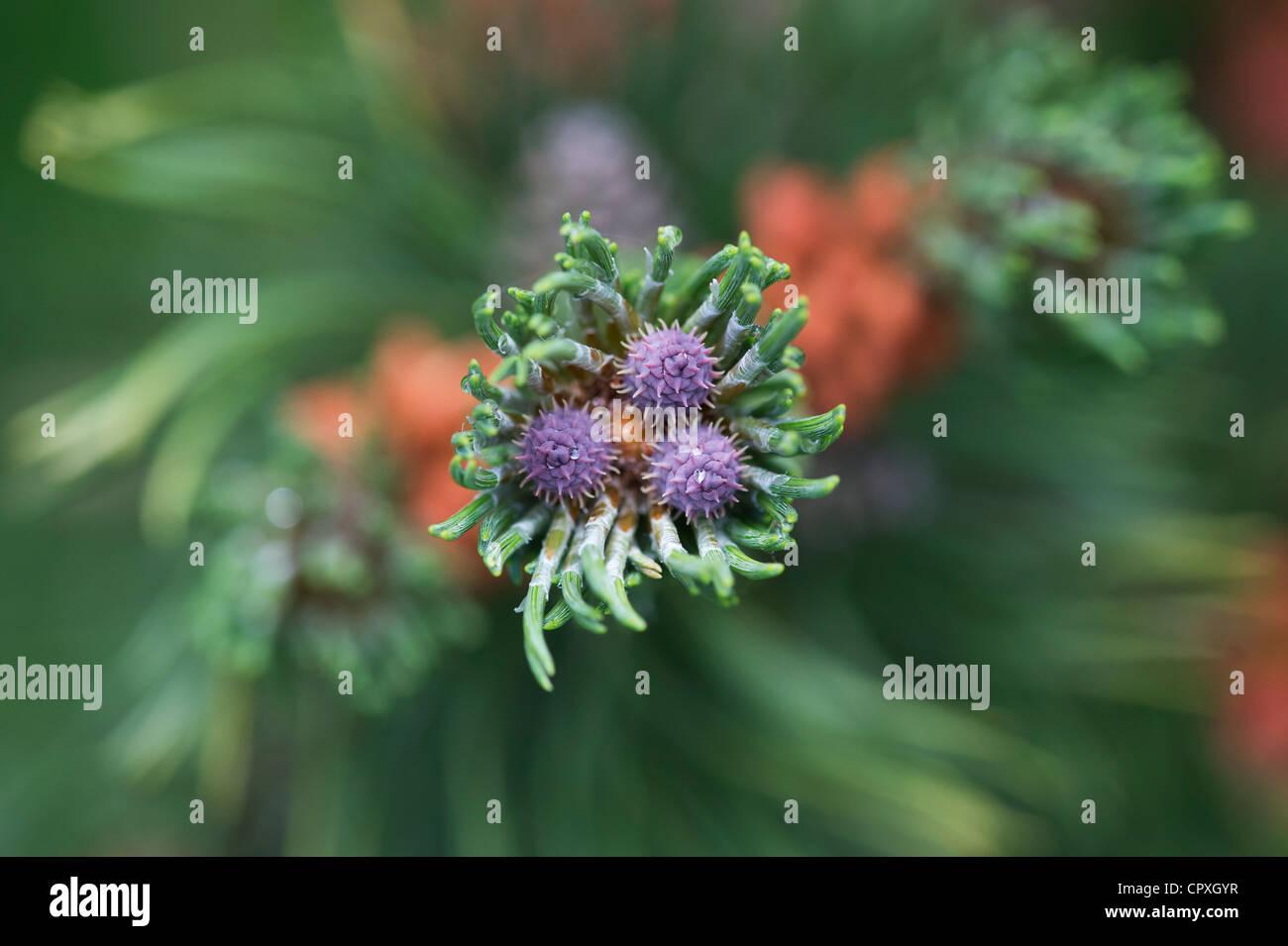 Pinus mugo. Swiss mountain pine or Mugo Pine - Stock Image