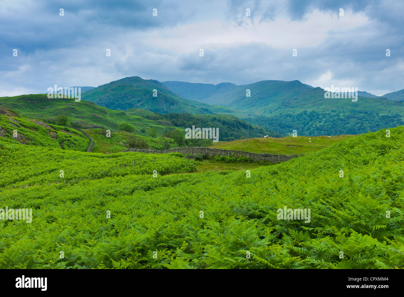 Dense bracken on country walk near Lake Windermere in the Lake District National Park, Cumbria, UK - Stock Image