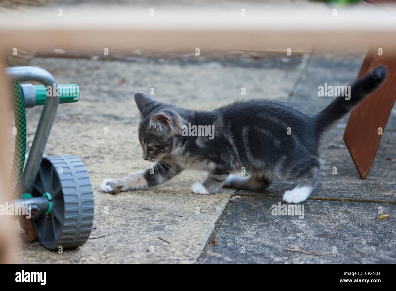 A domestic kitten pouncing on a leaf in a paved garden area - Stock Image