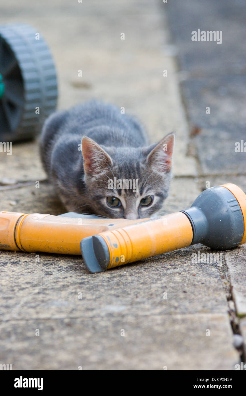 A domestic kitten lying on the floor behind a garden house, looking up with mischievous eyes - Stock Image