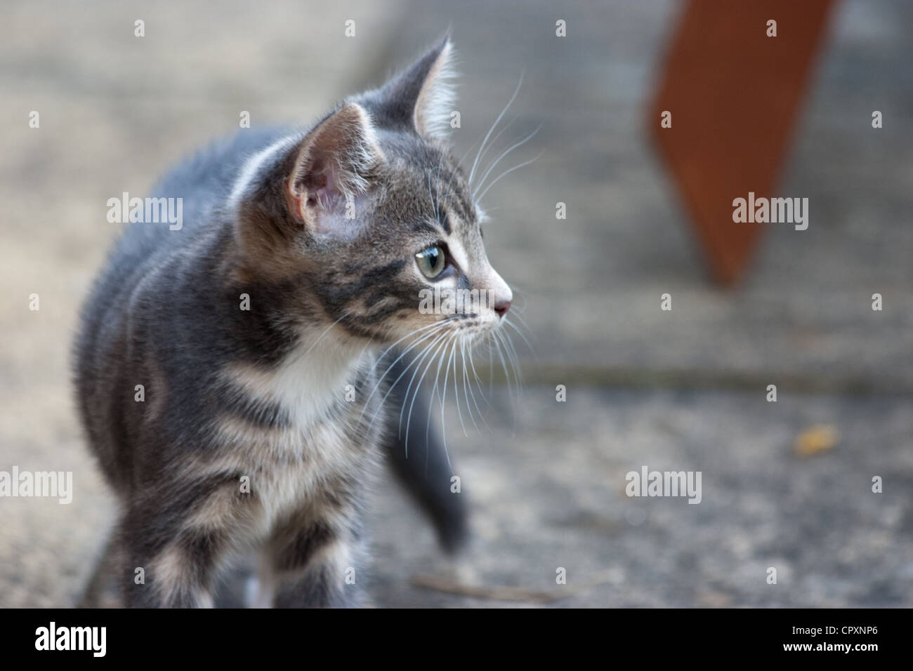A domestic kitten standing alert on a paved garden area - Stock Image