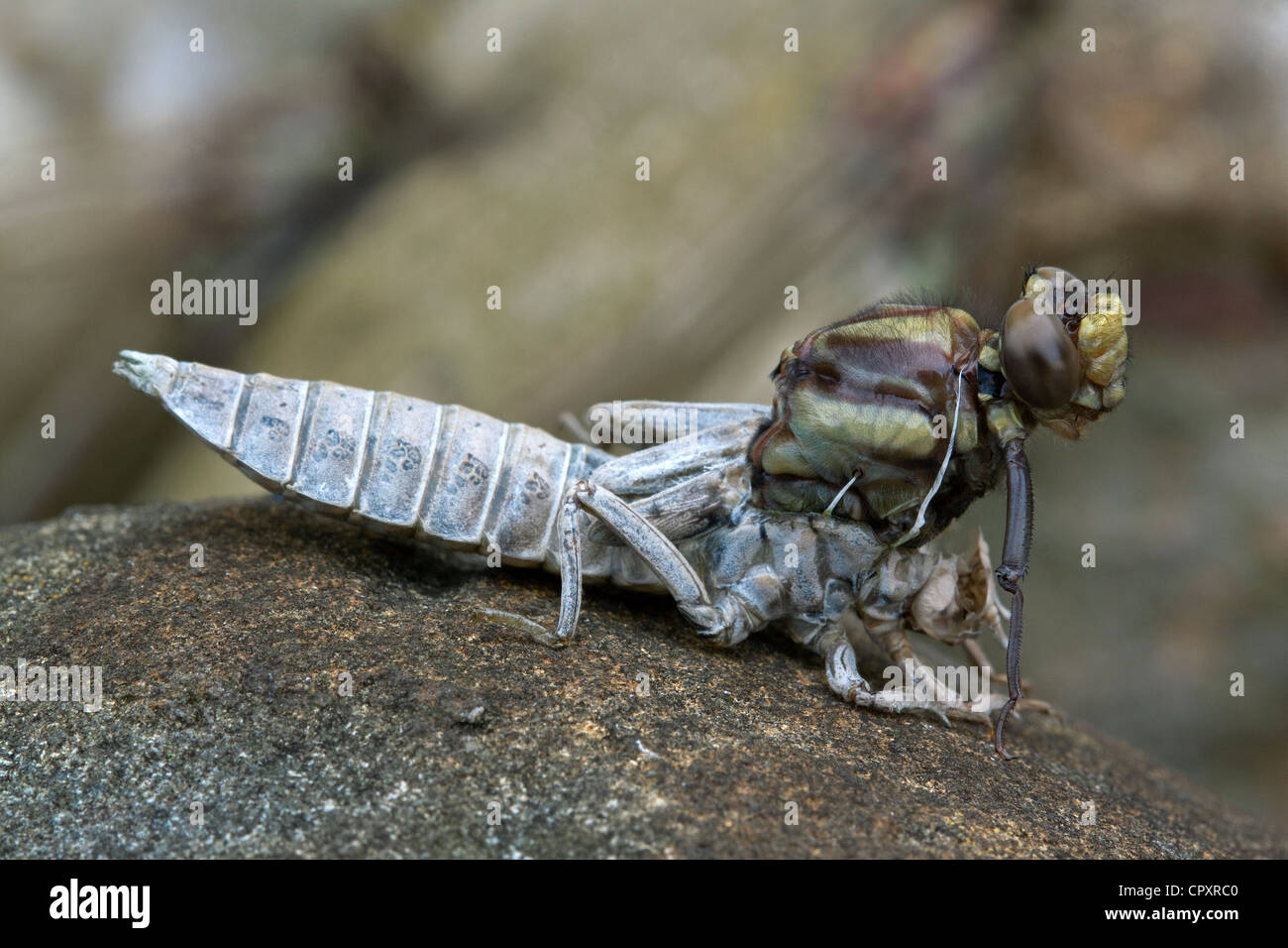 Metamorphosis, Dragonfly adult emerging from nymphal skin Eastern USA - Stock Image