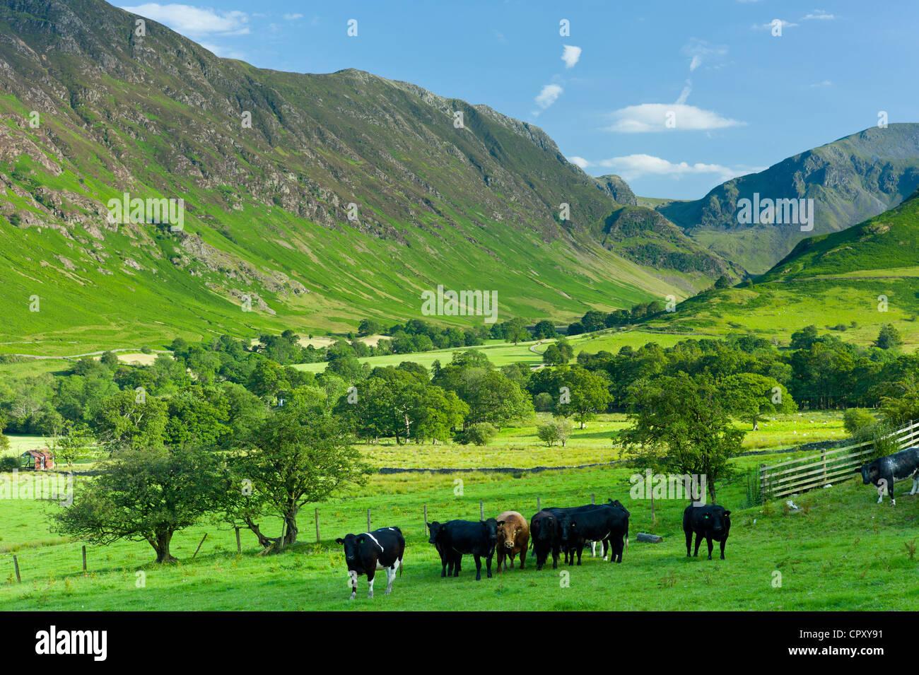 Cattle in pastureland by Maiden Moor in Derwent Fells, Cumbrian mountains near Derwentwater in Lake District National - Stock Image