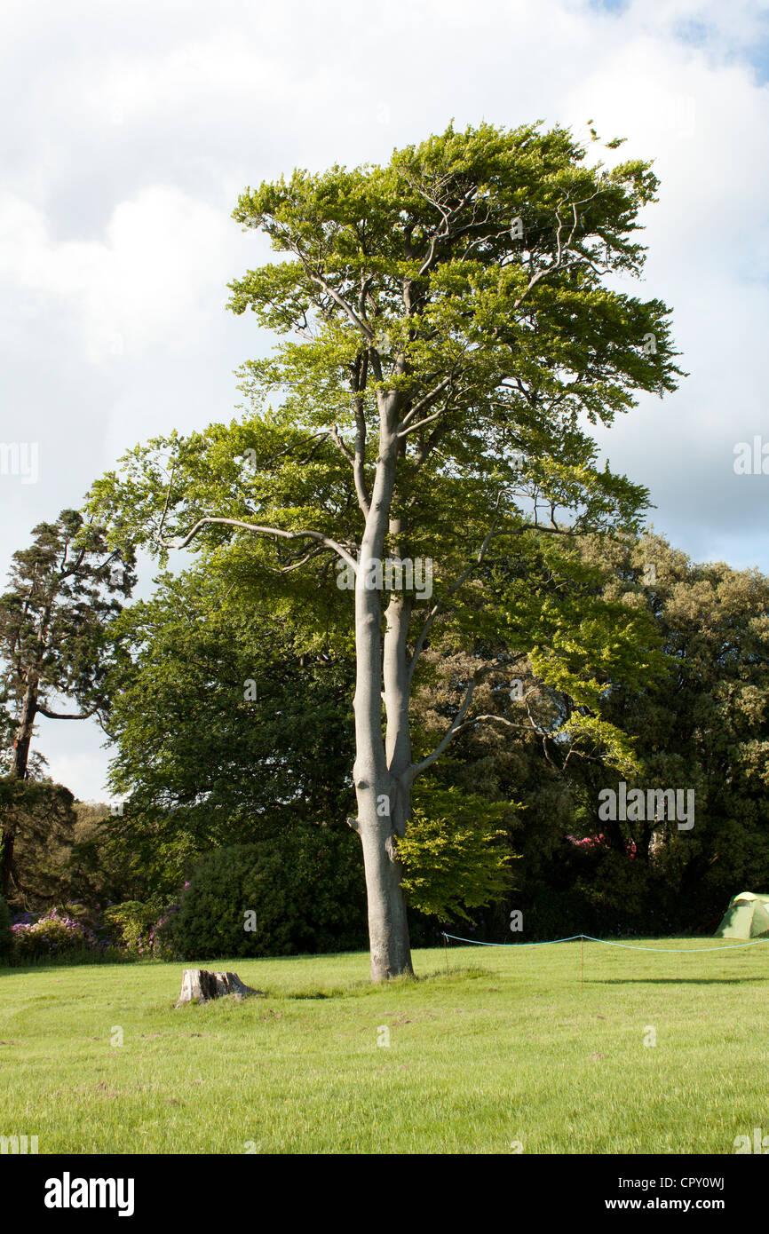 Eucalyptus Tree - Stock Image