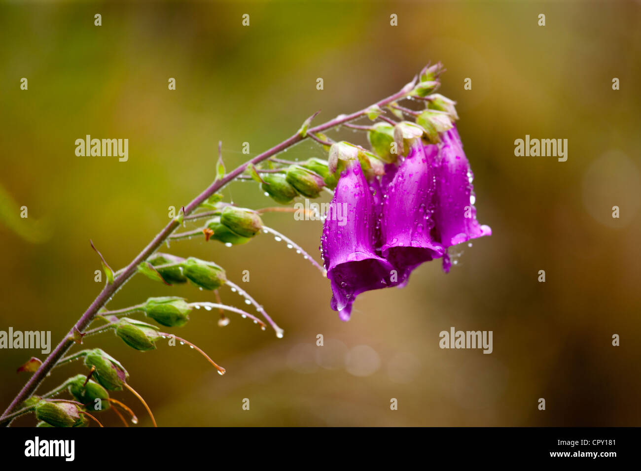 Foxglove, Digitalis purpurea, wildflower on rainy day by Thirlmere Lake in the Lake District National Park, Cumbria, - Stock Image