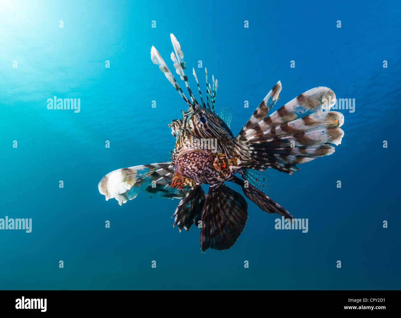 A common lionfish looks angrily at the camera with a blue water background and sunbeams from the nearby surface - Stock Image