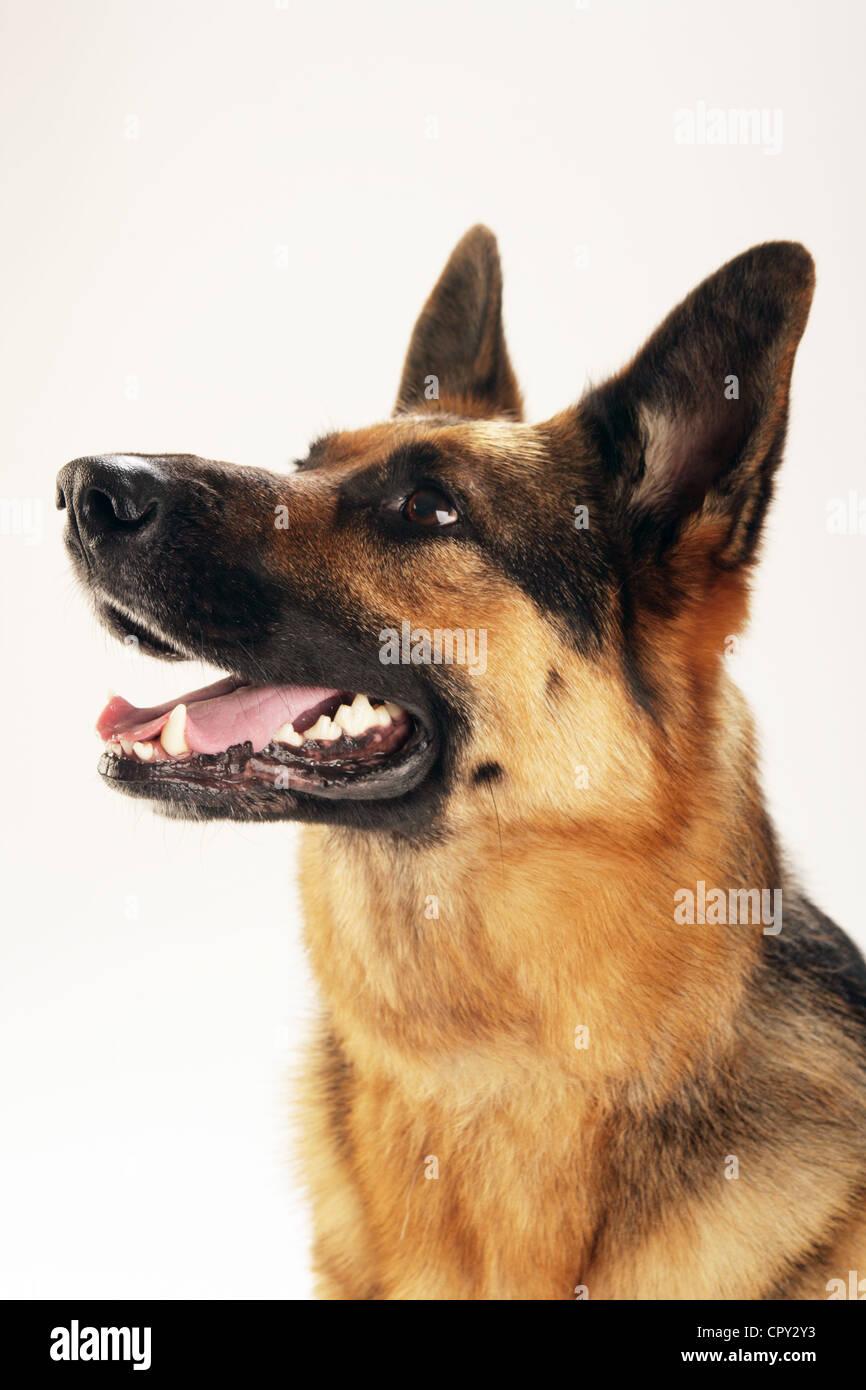 Portrait of a German Shepherd ( Alsatian ) in a studio. - Stock Image
