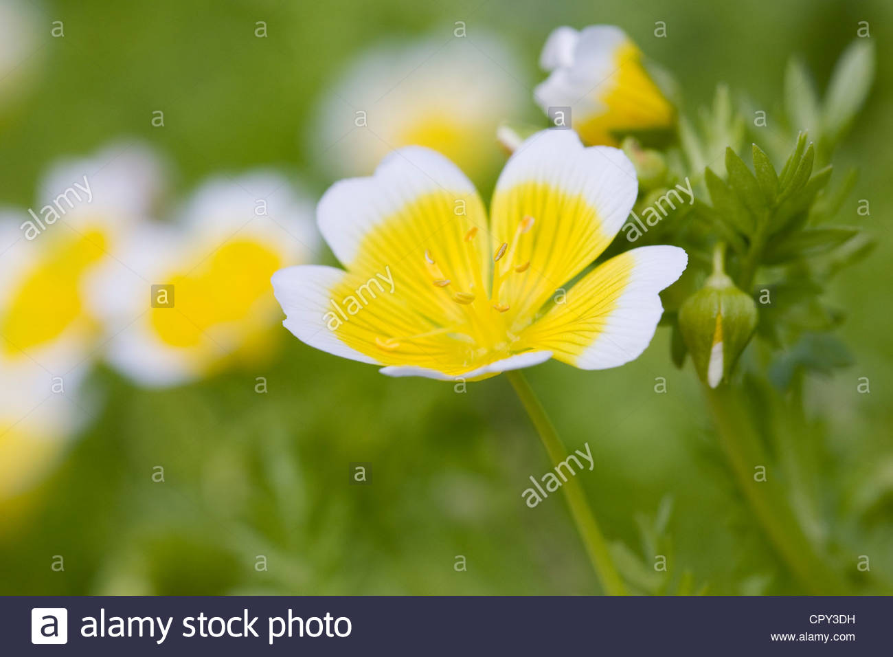 Close up of Limnanthes douglasii in the garden. Poached egg plant. - Stock Image