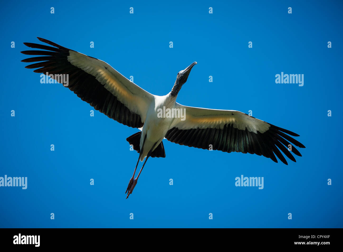 Wood Stork Flying with wings open view from below - Stock Image