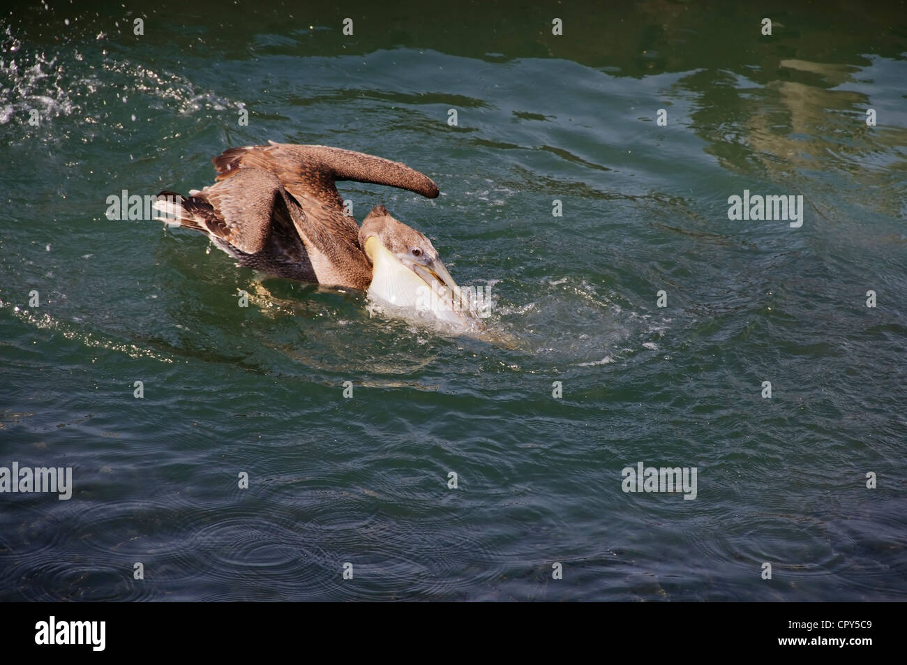 A pelican fills his gular throat pouch with fish and saltwater as he plunges into Banderas Bay in Nayarit, Mexico. - Stock Image