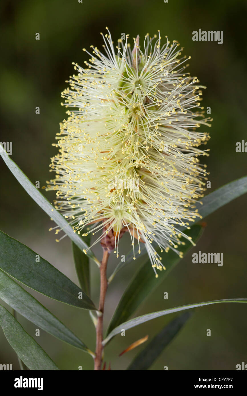 Lemon Bottlebrush, Callistemon pallidus, Myrtaceae - Stock Image