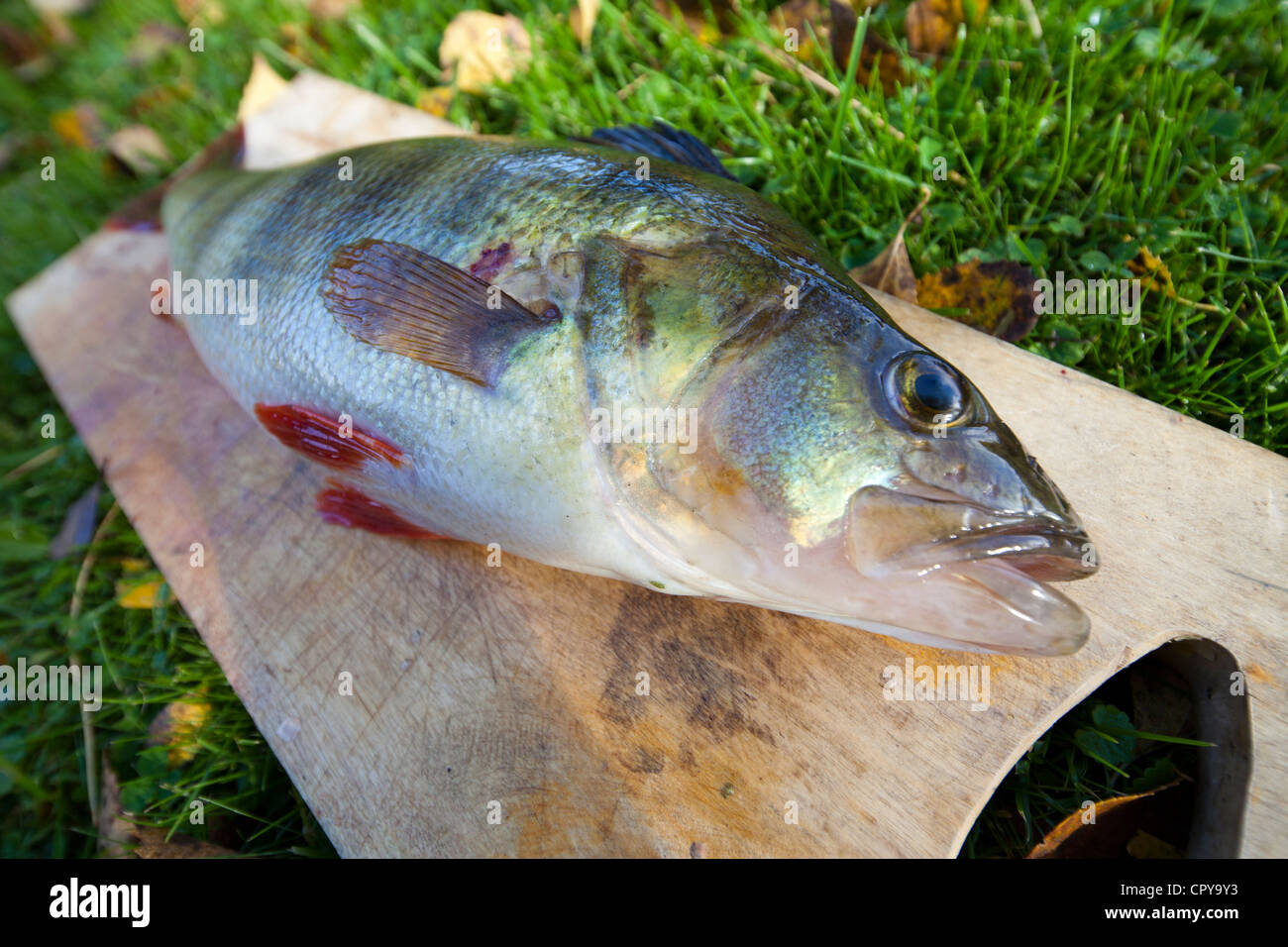 1.1 kg freshwater perch ( perca fluviatilis ) , Finland - Stock Image