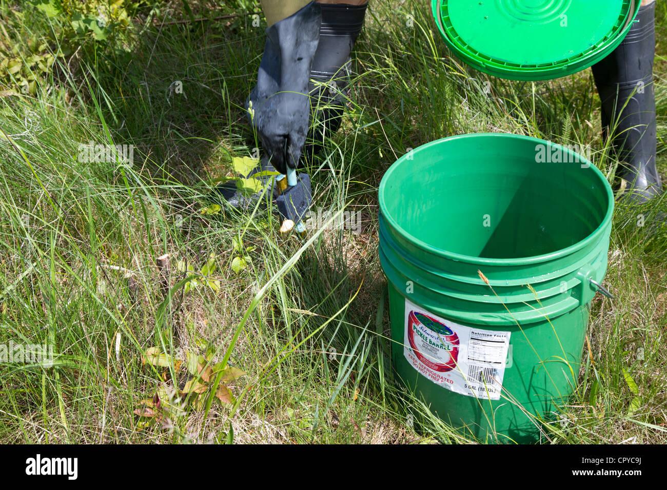 Volunteers remove invasive buckthorn from a prairie habitat. - Stock Image
