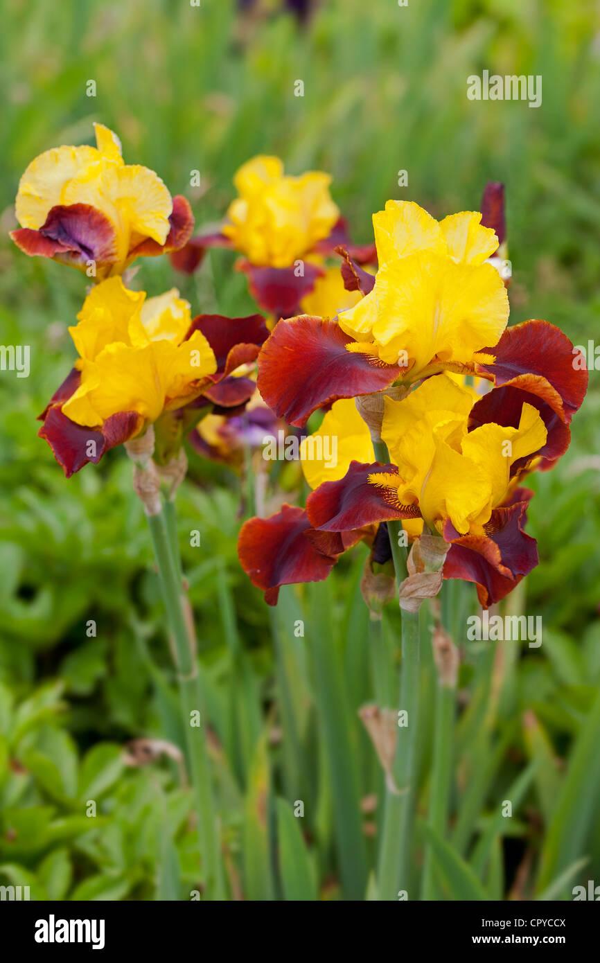 Iris Andalou, Tall Bearded Iridaceae - Stock Image