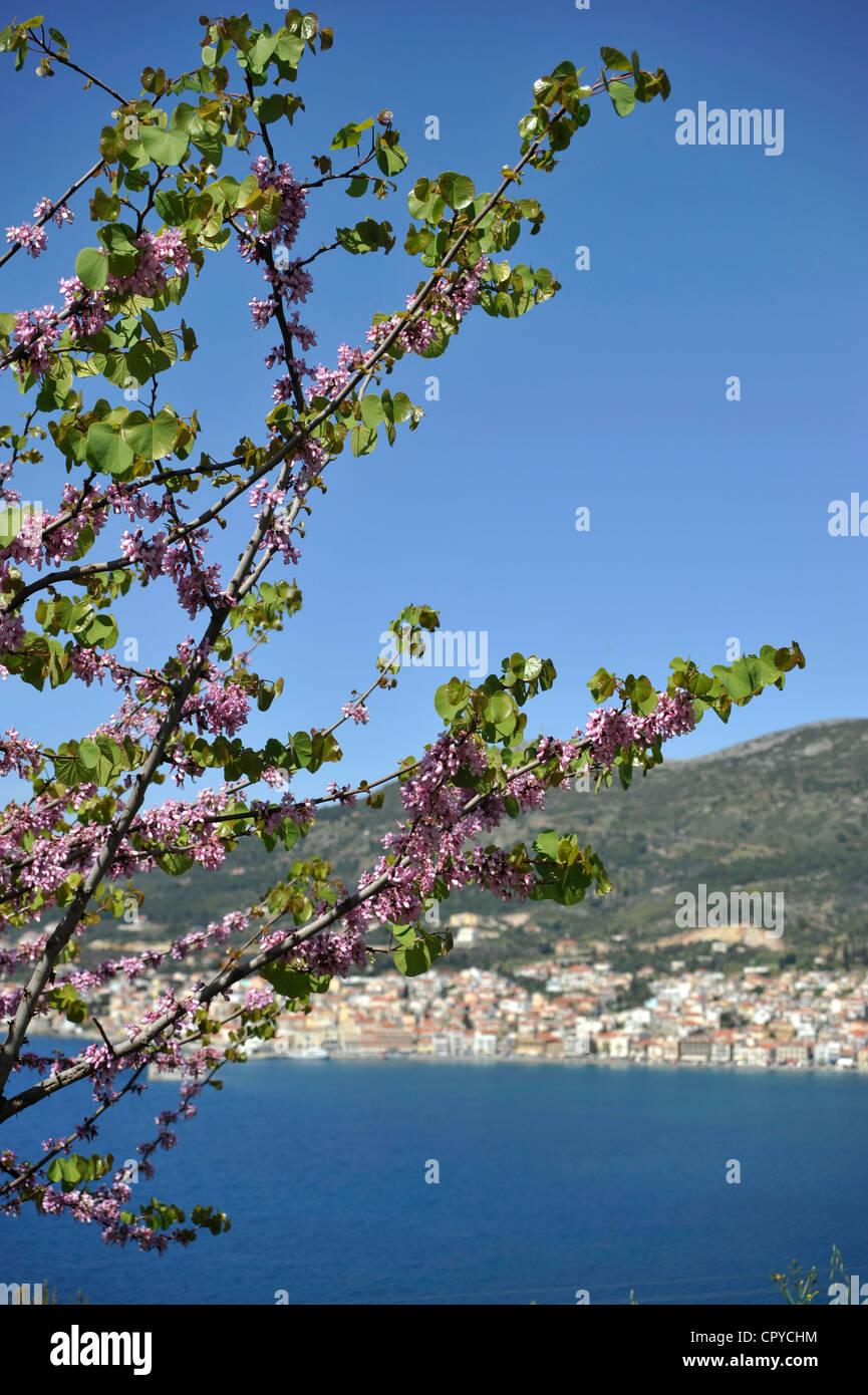 Judas tree ( Cercis siliquastrum ). View to Vathy, Samos town, Samos island, Greece. - - Stock Image