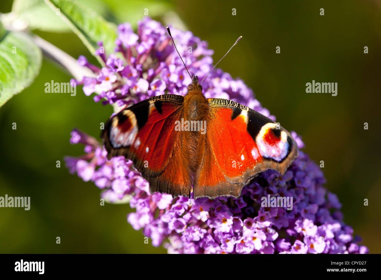 Peacock butterfly, Inachis io, feeding on nectar from Buddleia Davidii, Buddleja Davidii, flower in English country - Stock Image
