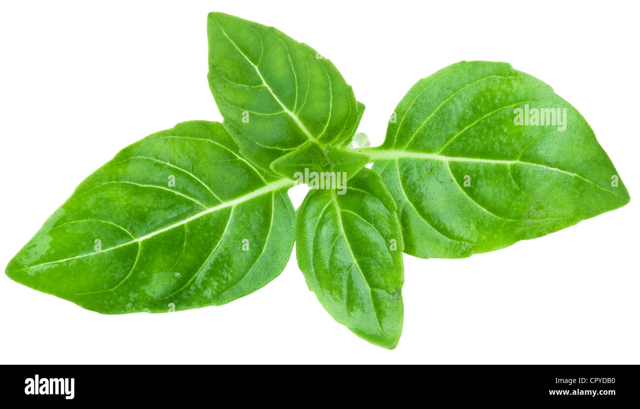 Leaves of basil on a white background - Stock Image