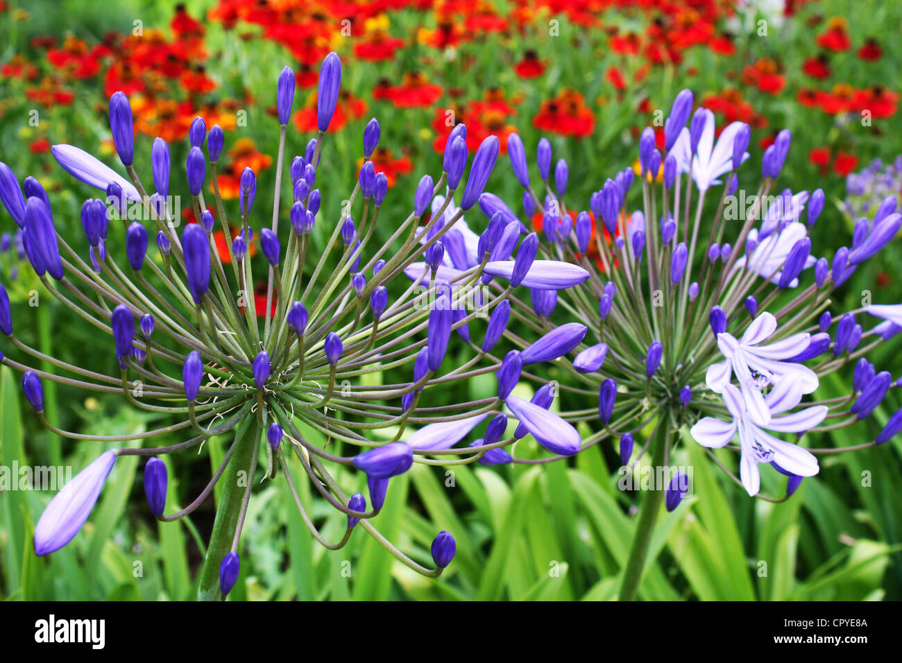 Blue agapanthus flowers in a garden - Stock Image