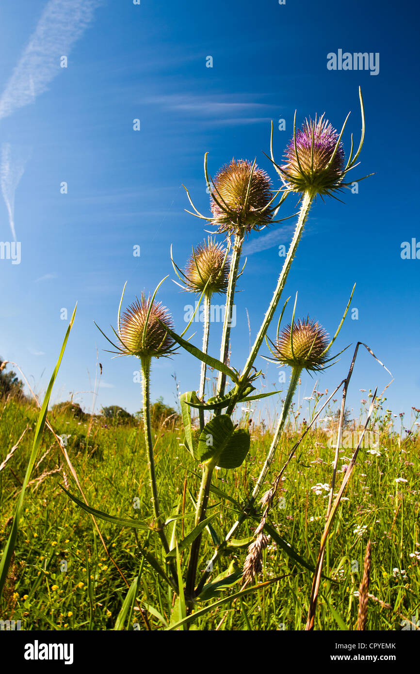 Thistle flowerheads in an English meadow - Stock Image
