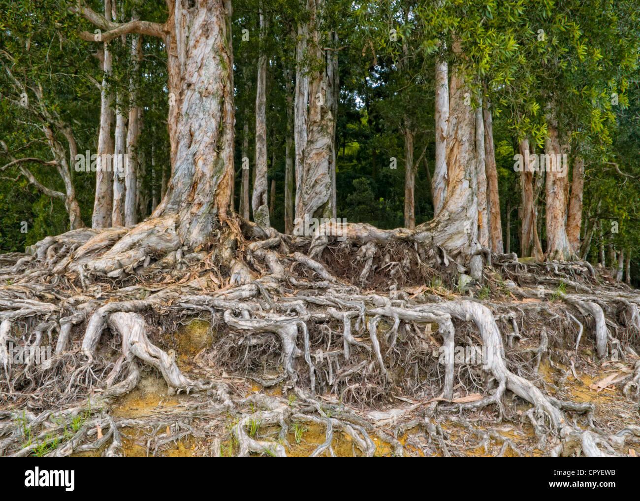 Paper-bark Tree (Melaleuca quinquenervia) in Shing Mun Country Park Hong Kong. - Stock Image