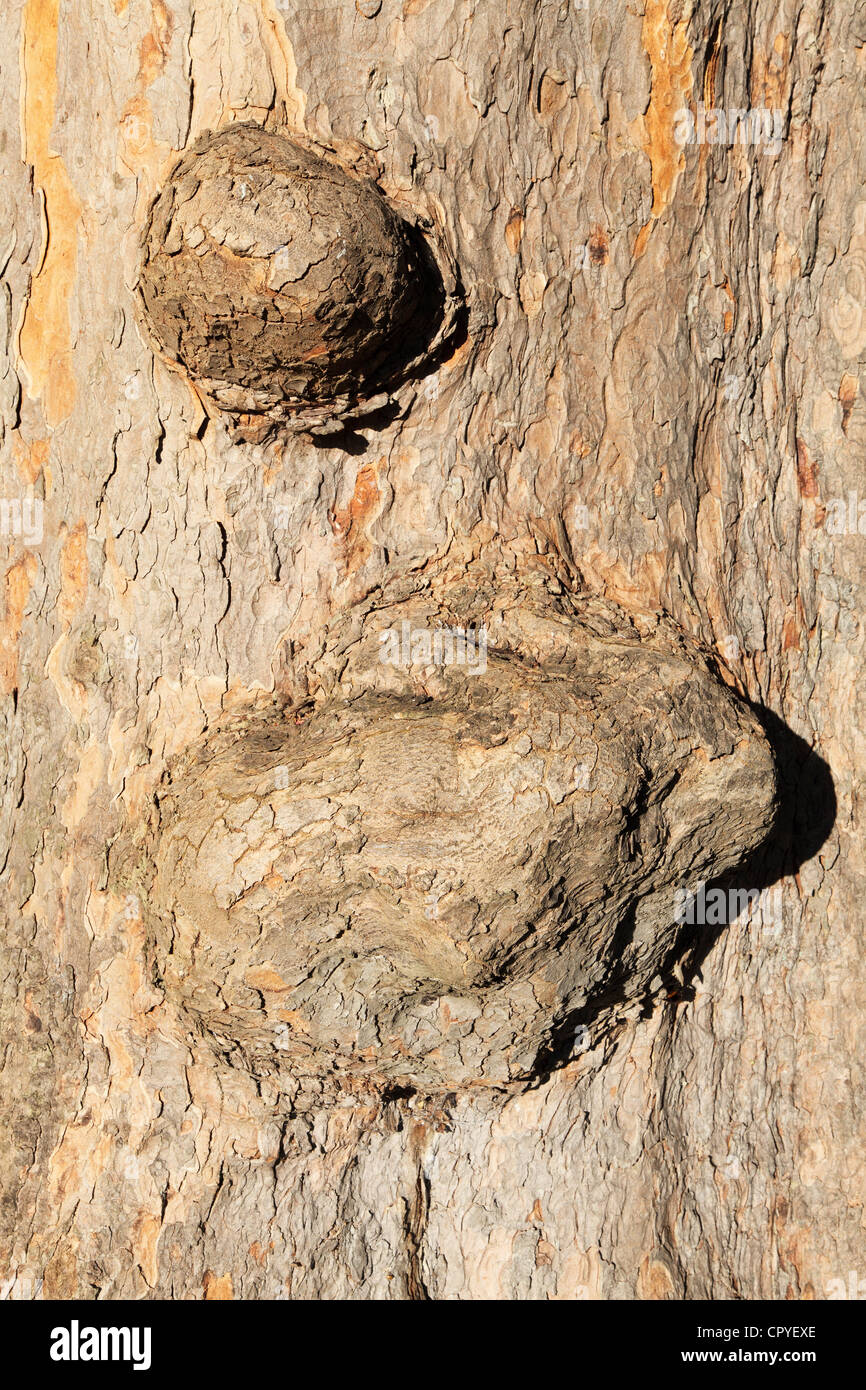 Swellings on a tree trunk - Stock Image