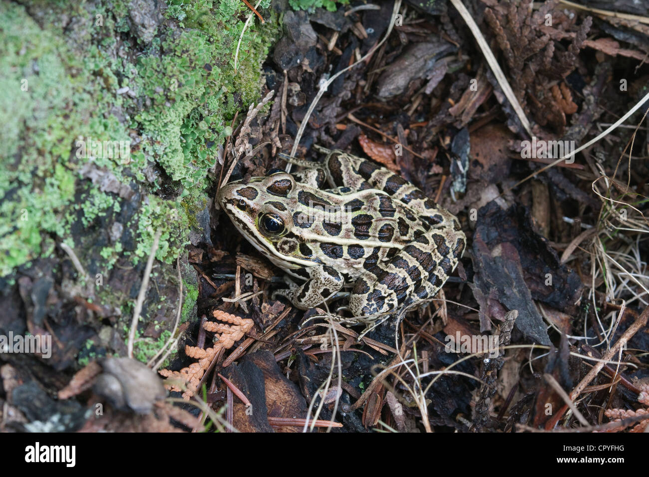 Northern Leopard Frog Rana pipiens resting on ground next to lichen-covered rock E USA Stock Photo