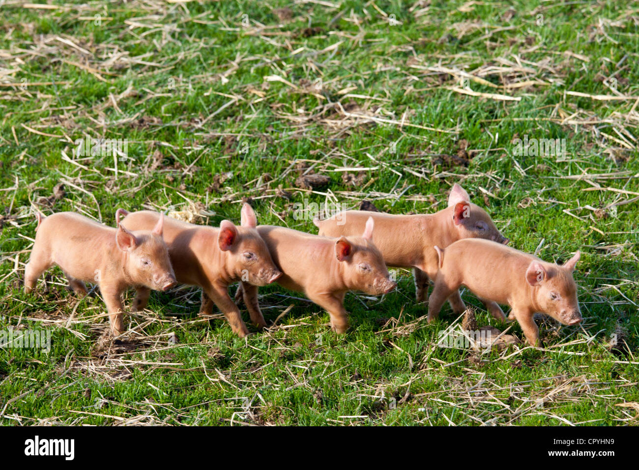 Tamworth piglets at the Cotswold Farm Park at Guiting Power in the Cotswolds, Gloucestershire, UK - Stock Image