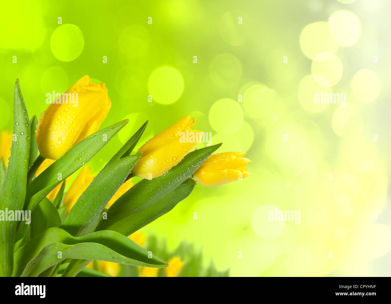 Spring tulips on blur background - Stock Image