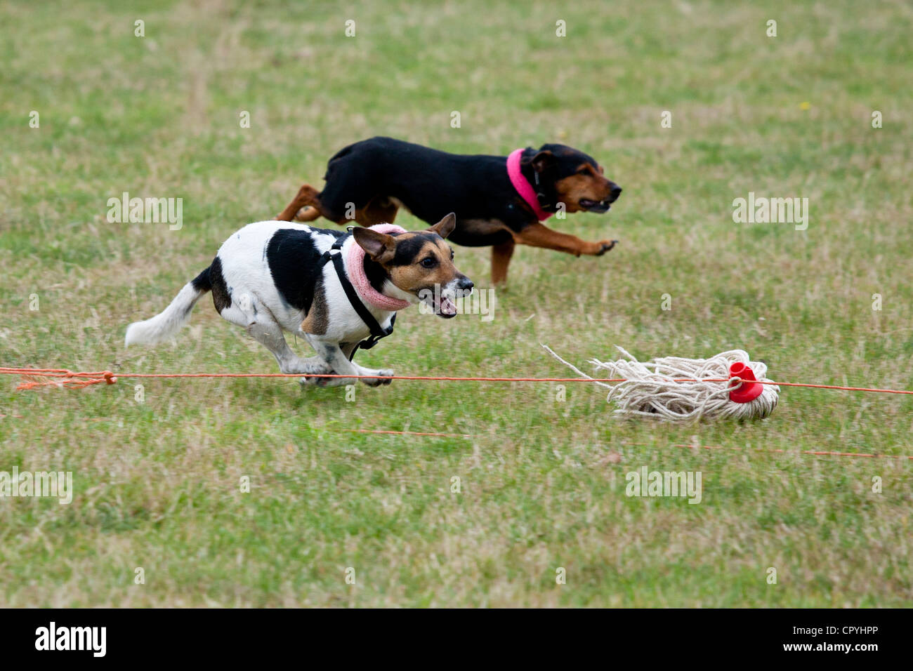 Terriers terrier chasing racing at Moreton Show, agricultural event in Moreton-in-the-Marsh, The Cotswolds, Gloucestershire, - Stock Image